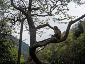 Monkey perched in the trees in Qianling Park, Guizhou province